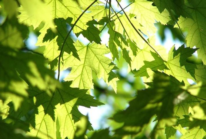 green leaves in a tree canopy